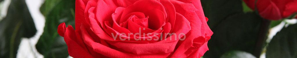 Стабилизированная роза Verdissimo